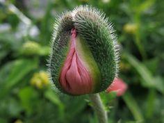 """opening"" image by Marjolein Dallinga #marjoleindallinga #bloomfelt #pink #poppy #pinkflower"