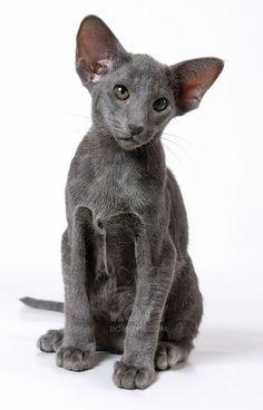 Kot Orientalny Krótkowłosy - koty o syjamskiej budowie ciała ale nie posiadające wymaganych Cute Cats And Kittens, Baby Cats, I Love Cats, Kittens Cutest, Funny Kittens, Siamese Cats, Ragdoll Kittens, Bengal Cats, Pretty Cats