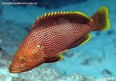 Epinephelus undulatostriatus - Maori Grouper