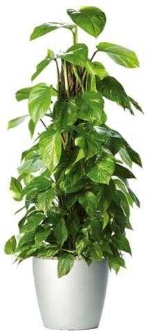 Le pothos (Scindapsus aureus) absorbe vaillamment le monoxyde de carbone, mais également toluène, benzène, hexane et formaldhéhyde. Parfait pour un coin bricolage. Evitez la chambre des enfants : sa sève irrite la peau. - See more at: http://www.espritsciencemetaphysiques.com/top-18-des-plantes-d-interieur-pour-la-purification-de-lair-que-vous-respirez-selon-la-nasa.html#sthash.Xr7nGRlH.dpuf