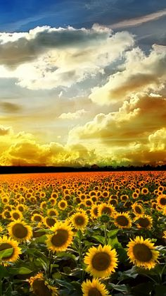 Sunflower Pictures iPhone 6 Plus Wallpaper 21589 - Flowers iPhone 6 Plus Wallpapers