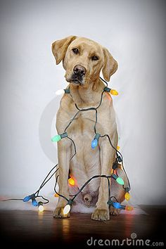Dog and Christmas lights. Cute dog wrapped in decorative Christmas lights; Merry Christmas, Christmas Dog, Christmas Photos, Christmas Lights, Christmas Holidays, Christmas Crafts, Christmas Decorations, White Studio Background, Dog Wrap