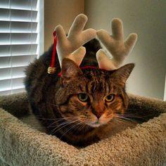 #catsofinstagram #kitties #cats #kittens #Christmas