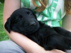 A Flat Coat Retriever. Literally going to be my first purchase out of college! Way too obsessed!