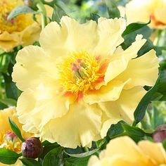"Yellow ""garden treasure"" peony"