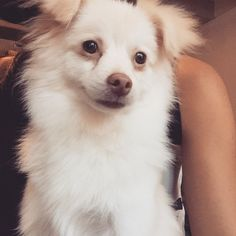 Wookie Pomeranian | Pawshake