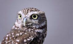 Mocho-galelo by Maria Clara Eusebio Rodrigues Maria Clara, Best Commercials, Owl, Bird, Birds Of Prey, Animais, Fotografia, Owls, Birds