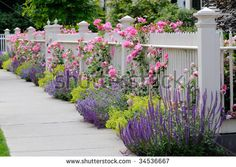 Pink climbing roses on white fence bordering garden and sidewalk. Salvia, sage, catmint and lady's mantle in colorful flower bed. - stock photo