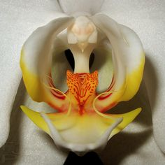 List of the Best Types of Orchids Giant Flowers, Clay Flowers, Amazing Flowers, Pretty Flowers, Exotic Plants, Exotic Flowers, Orange Orchid, Moth Orchid, Wild Orchid
