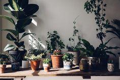 Avec ses grosses feuilles bien vertes et bien brillantes, le Caoutchouc impose tout de suite son style pour décorer nos intérieurs.