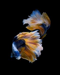 Starry night - Capture the moving moment of blue-yellow siamese fighting fish isolated on black background. Pretty Fish, Beautiful Fish, Colorful Fish, Tropical Fish, Beautiful Creatures, Animals Beautiful, Betta Fish Care, Fish Wallpaper, Beta Fish