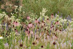 Some of my favorite plants in a border designed by a favorite planting designer--- the mind behind the Lurie garden. Almost all midwest natives.  Echinacea pallida, Veronicastrum virginicum Fascination, Eryngium giganteum Silver Ghost, Calamagrostis acutiflora Karl Foerster ornamental grass - spiky plants planting combination, Piet Oudolf border