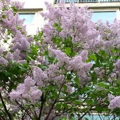 pinkish lilacs #lilacs #flowers