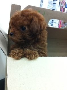 toy poodle puppy!!! and not it's not an actual toy!!!