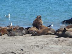 lobos marinos - Mar del Plata - Argentina