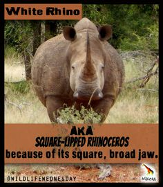the white rhino is also called the square-lipped rhino? Blame it on its square, broad jaw! Rhino Facts, Rhinos, Extinct, Blame, Conservation, Did You Know, Monochrome, Wildlife, Elephant