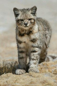 The Andean mountain cat(Leopardus jacobita) is a small wild cat native to the high Andes mountains, found at elevations ranging from about 5,900 feet to around 13,000 feet. The mountain viscacha makes up most of the Andean mountain cats' diet. In 2002 the Andean mountain cat has been classified as endangered because less than 2,500 individuals are thought to exist in the wild.