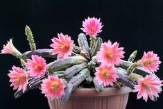 Flowering Succulents, Cacti And Succulents, Planting Succulents, Planting Flowers, Nature Plants, Desert Plants, Cool Plants, Cactus House Plants, Indoor Cactus
