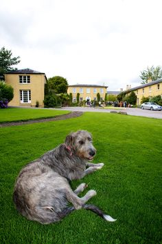 Dog relaxes in front of Ballinacurra House