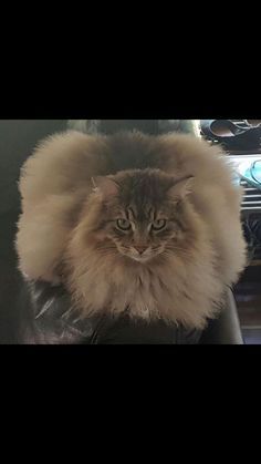 Fluffy loaf - he doesn't like photos