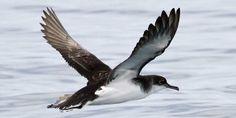 Noordse Pijlstormvogel / Manx Shearwater