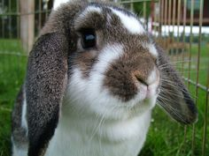 rabbits - Bing Images Finn Mini Lop