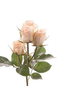 Light Peach Spray Roses - Chablis - Spray Roses - Types of Flowers Diy Wedding Flowers, Diy Flowers, Fresh Flowers, Wedding Bouquets, Light Peach, Light Orange, Types Of Roses, Diy Bouquet, Spray Roses