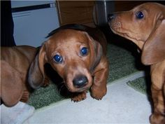 I have five 10 week old male dachshund puppies that are looking for good homes.