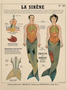 Planche Créatures Fantastiques Deyrolle : La Sirène
