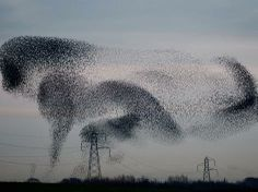 A murmuration of starlings gathers in Gretna in the Scottish Borders
