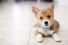 http://stephiejoy.com/blog/2014/09/i-love-lucy-stephie-joy-lifestyle-photography/  Welsh Pembroke Corgi puppy  stephiejoy.com