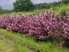 Rotblättrige Weigelie 'Purpurea' - Weigela florida 'Purpurea'