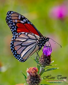 Monarch, Painted Lady and Fritillary Butterflies Butterfly Photos, Monarch Butterfly, Butterfly Wings, A Bug's Life, Butterfly Painting, Everything Is Awesome, Woman Painting, Beautiful Butterflies, Science And Nature