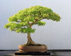 Image from http://upload.wikimedia.org/wikipedia/commons/thumb/f/f9/Trident_Maple_bonsai_52,_October_10,_2008.jpg/749px-Trident_Maple_bonsai_52,_October_10,_2008.jpg.