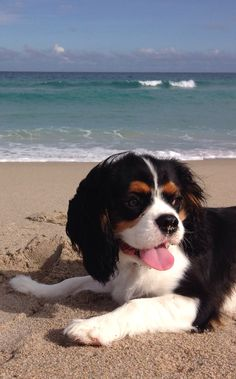Teddy On The Beach, Nov. 7, 2013 - EK, Tricolor Cavalier King Charles Spaniel