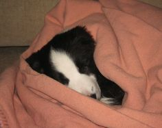 Now that's a big comfort blanket, or a small puppy.