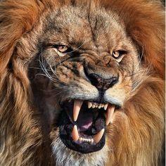 White Wolf: Wild lions nearing extinction (Video)