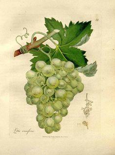 81014 Vitis vinifera L. / Woodville, W., Hooker, W.J., Spratt, G., Medical Botany, 3th edition, vol. 1: t. 57 (1832)