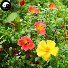 Flower Seeds Online, Portulaca Grandiflora, Family Flowers, Chinese Herbs, Growing Plants, Peony, Indoor Plants, Trees, Garden