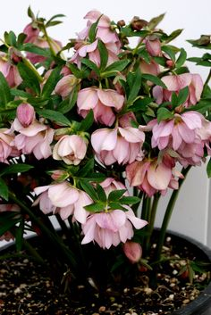 Helleborus x 'Cotton Candy' I have many helleborus that bloomed in January and are STILL in bloom in May. Full shade.