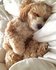 Puppies And Kitties, Baby Puppies, Doggies, Baby Animals, Cute Animals, Group Of Dogs, Cute Dog Photos, Poodle Mix, My Animal