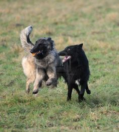 Belgian Shepherd Tervueren and Groenendael playing