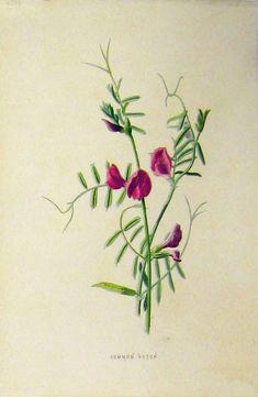 [C1890 Antique Colour Botanical Print Common Vetch]