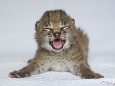 This Weeks-Old Eurasian Lynx Cub Is My New Favorite Thing