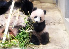 The Perfect Guide to Ueno Zoo: Popular Attractions and Services - LIVE JAPAN (Japanese travel, sightseeing and experience guide) Rare Animals, Cute Baby Animals, Animals And Pets, Wild Animals, Pretty Animals, Baby Panda Bears, Baby Pandas, Panda Babies, Giant Pandas
