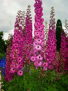 Google Image Result for http://home.gci.net/~delphinium/images/delphsimages/lucia.jpg