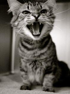 ::roar:: Pretty Cats, Adoption, Kitty, Animals, Foster Care Adoption, Little Kitty, Beautiful Cats, Animales, Animaux