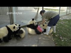 You try and clean up a panda enclosure with a bunch of pandas in there   MNN - Mother Nature Network