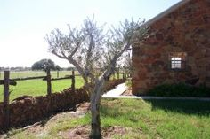 Daddy's Olive Tree at Sandy Oaks Olive Orchard!