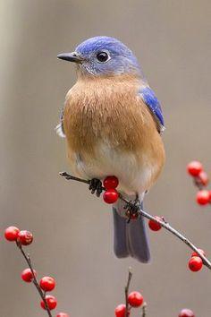 Bluebird on red Berries